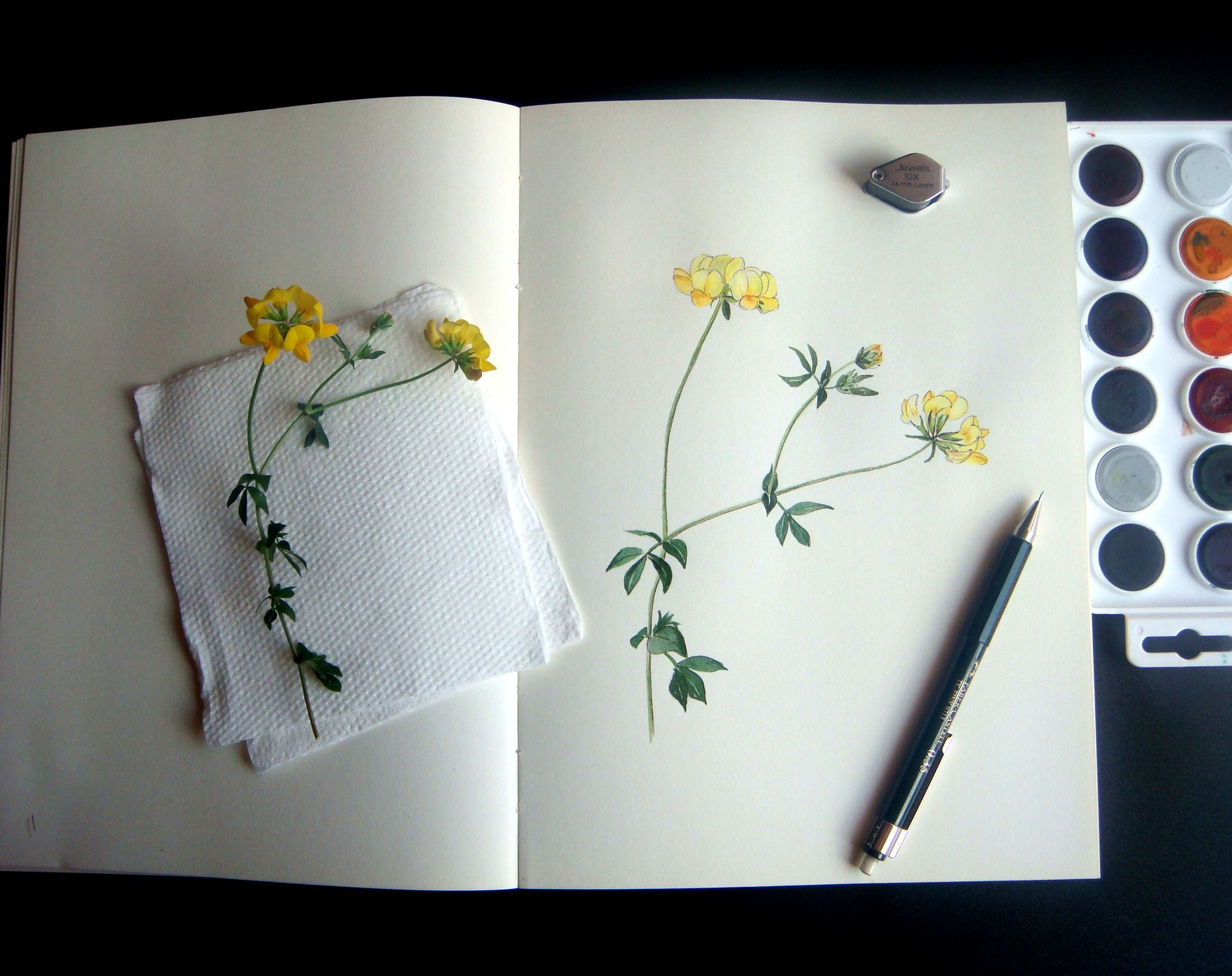 Coronilla watercolour and ink on sketchbook sketchbooks and