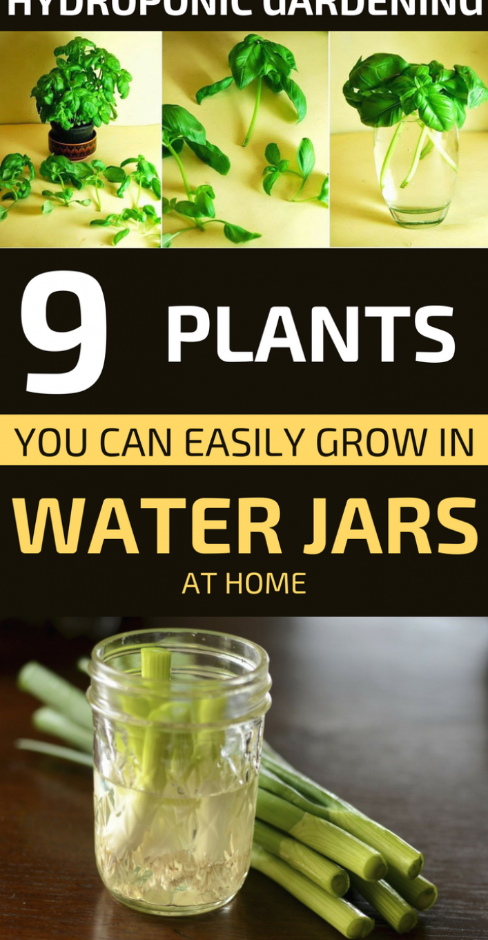 Hydroponic Gardening 9 Plants You Can Easily Grow In Water Jars At Home Gardeningtips Gardening Gardend In 2020 Hydroponic Gardening Hydroponics Hydroponics Diy