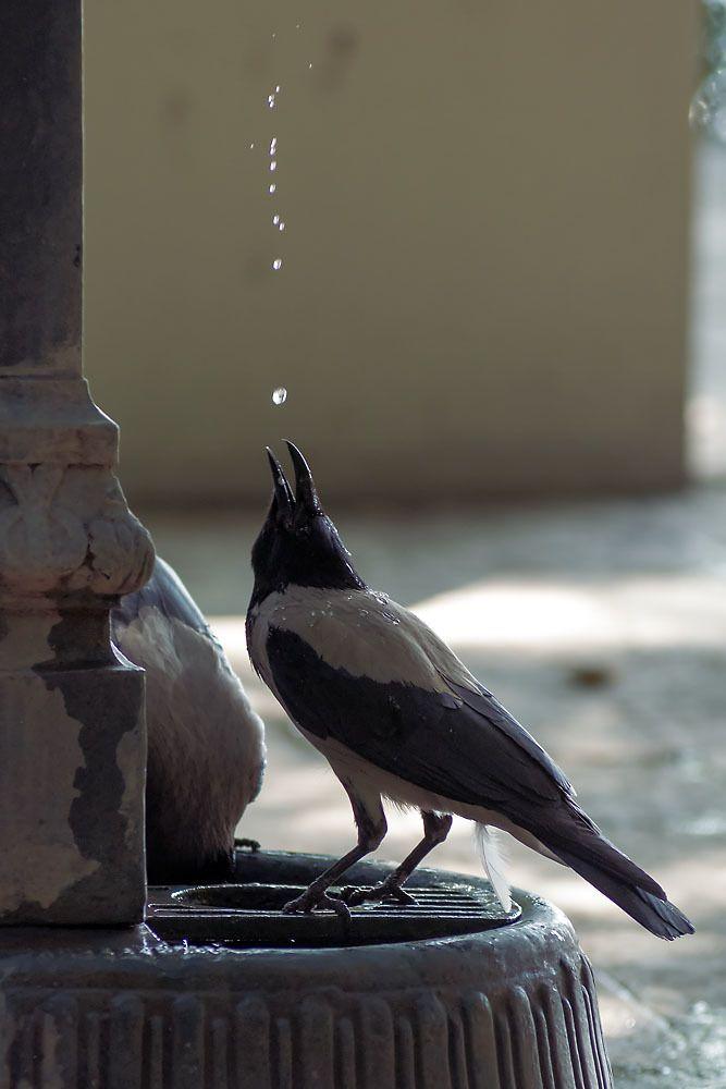 Черная вороны прикольная картинка