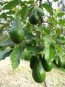 Image result for avocado plant