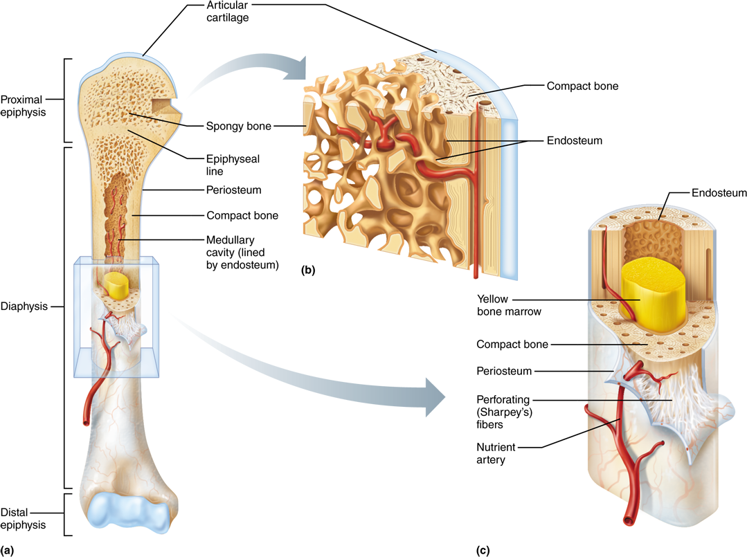 64 The Gross Structure Of All Bones Consists Of Compact Bone