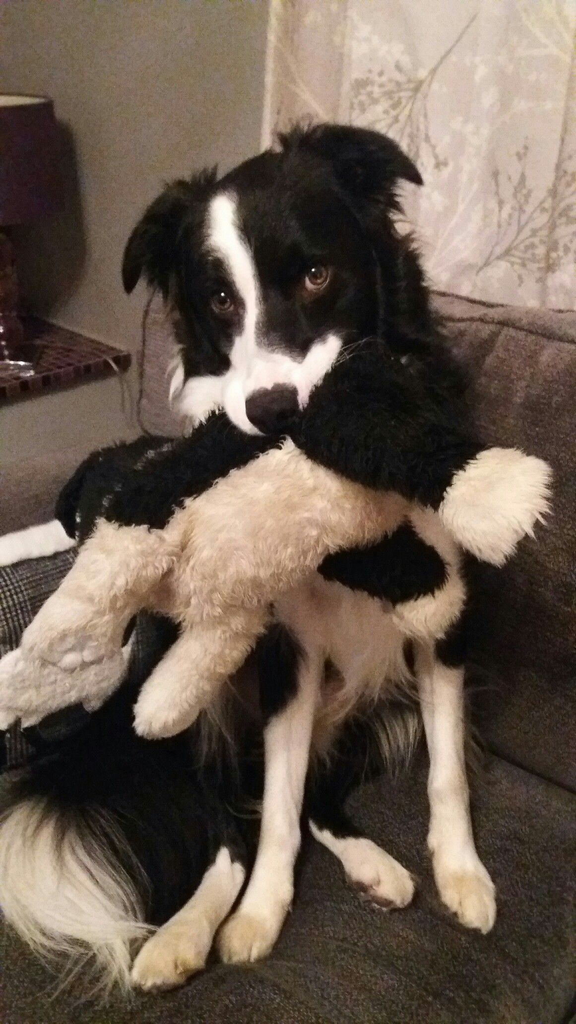 Norman With His Baby Jess In 2020 Collie Dog Collie Puppies Border Collie