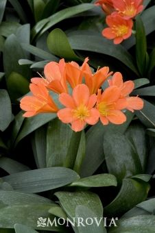 1c7f38406b7 Clivia, Bush lily: Showy perennial displays large, deep green, strap-like  leaves and intense orange flower heads on tall stems.
