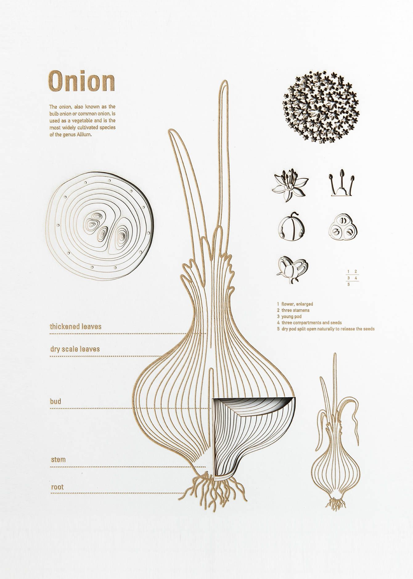 Vegetable Anatomy Posters - HONG WEI | Fruit & Veg Ref | Pinterest ...
