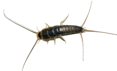 how to get rid of silverfish quickly naturally free guide for the home get rid of. Black Bedroom Furniture Sets. Home Design Ideas
