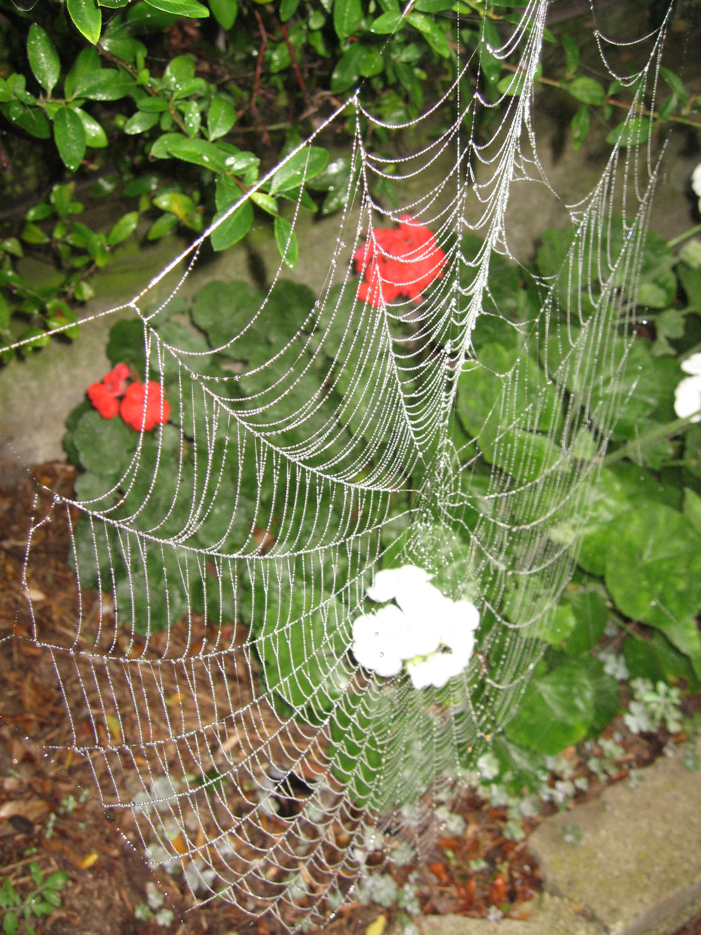 (科学和自然) spider web with water droplets in front of red