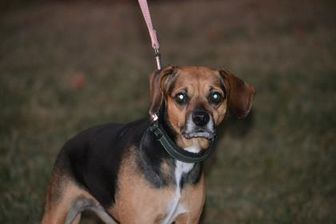 Fairfield Oh Beagle Pug Mix Meet Emerson A Dog For Adoption