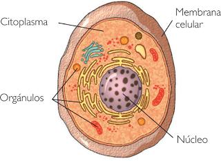 Niveles De Organizacion En El Cuerpo Humano Celula Tejido Organo Sistema Definicion Y Ejemplos Niveles De Organizacion En E Biology Biochemistry Science