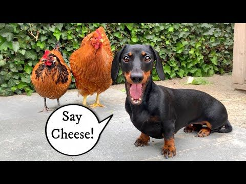 My Dog Does Not Eat Lettuce Dachshund Ducks And Chickens