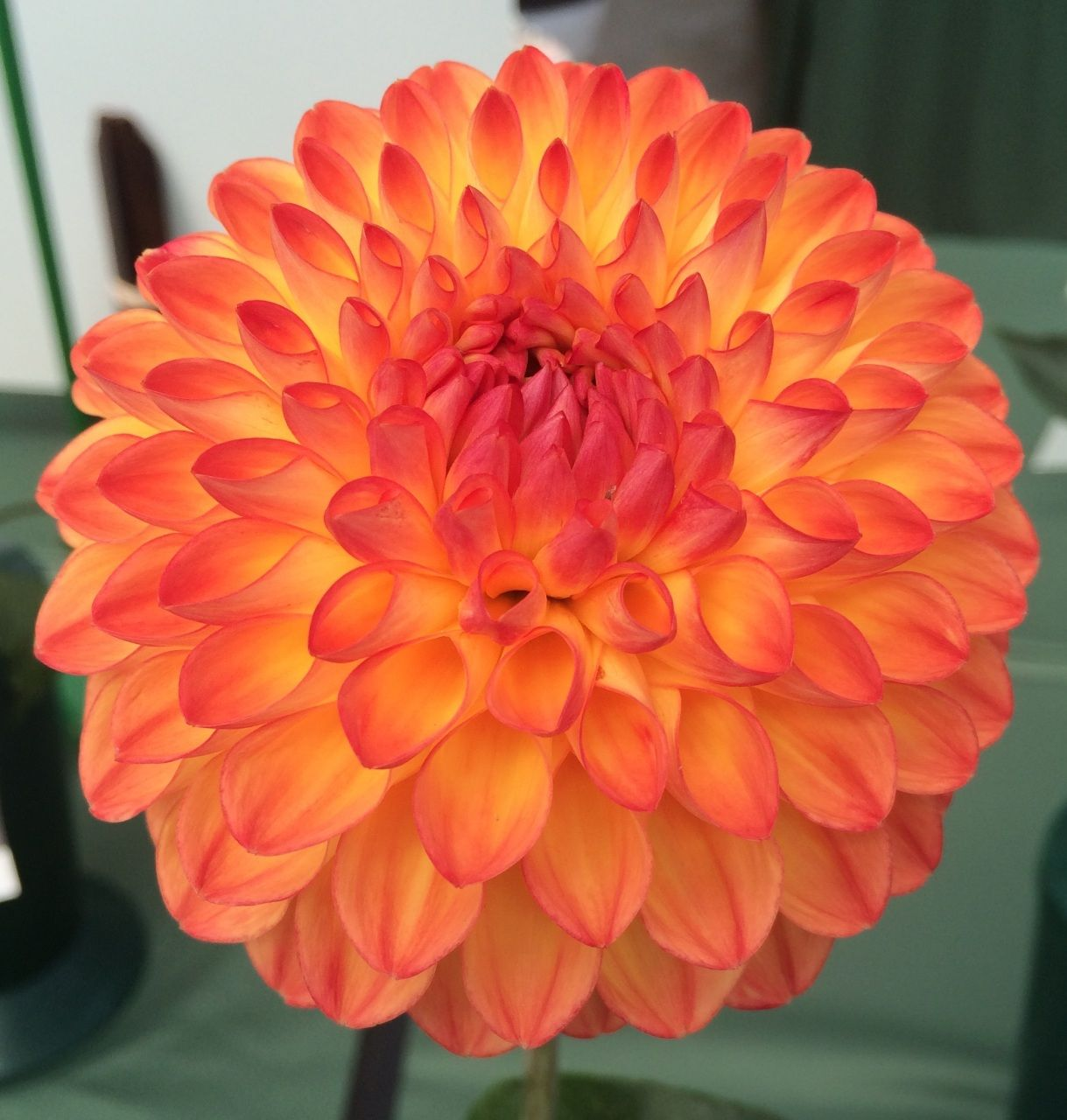 Bb Size 4 To 6 Blooms Dahlia Flower Bulb Flowers Beautiful Flowers