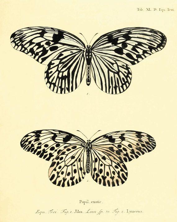 Vintage Black Butterfly Print Nature print Natural History old prints Victorian art 1800s vintage prints Home decor wall art 8x10 art print