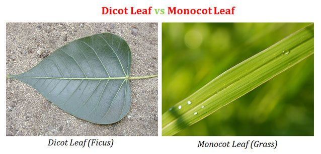 Dicot And Monocot Leaf Plant Anatomy Pinterest Leaves Anatomy