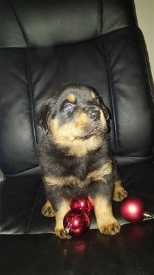 Akc Rottweiler Puppies Puppies And Dogs For Sale Pets Classified
