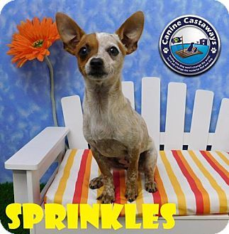 Arcadia Fl Chihuahua Mix Meet Sprinkles A Puppy For Adoption