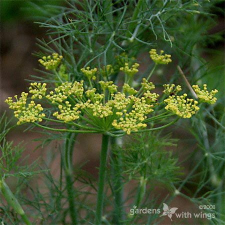 Dill (Anethum graveolens) is a host plant for Black Swallowtail