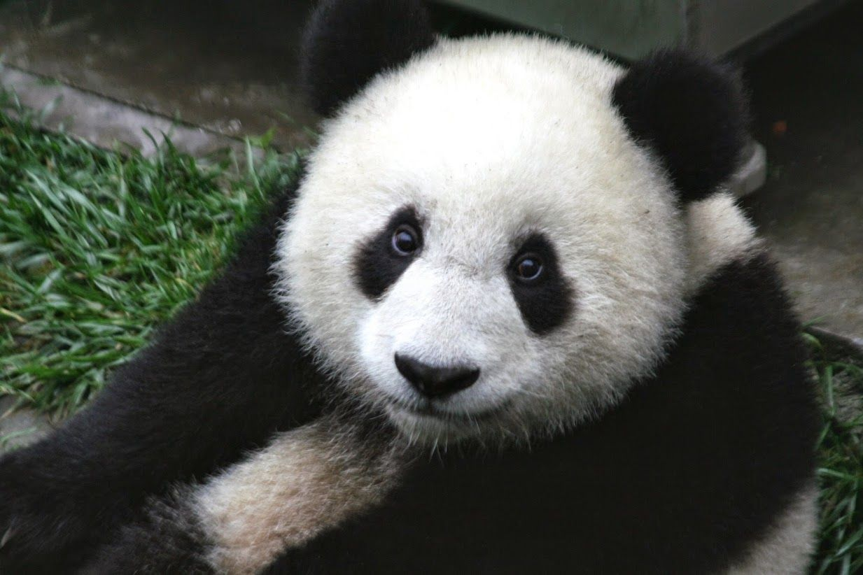 """Panda, by """"The panda, also known as panda bear or the giant panda to distinguish it from the unrelated red panda, is a bear native to south central China. polar bear"""" #Wildlife #Animal #WildlifePhotography #Cute #TravelPhotography #naturephotography #travel #nature"""