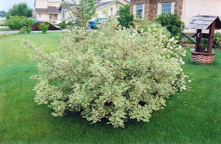 Silver Variegated Dogwood (Cornus alba 'Elegantissima') at