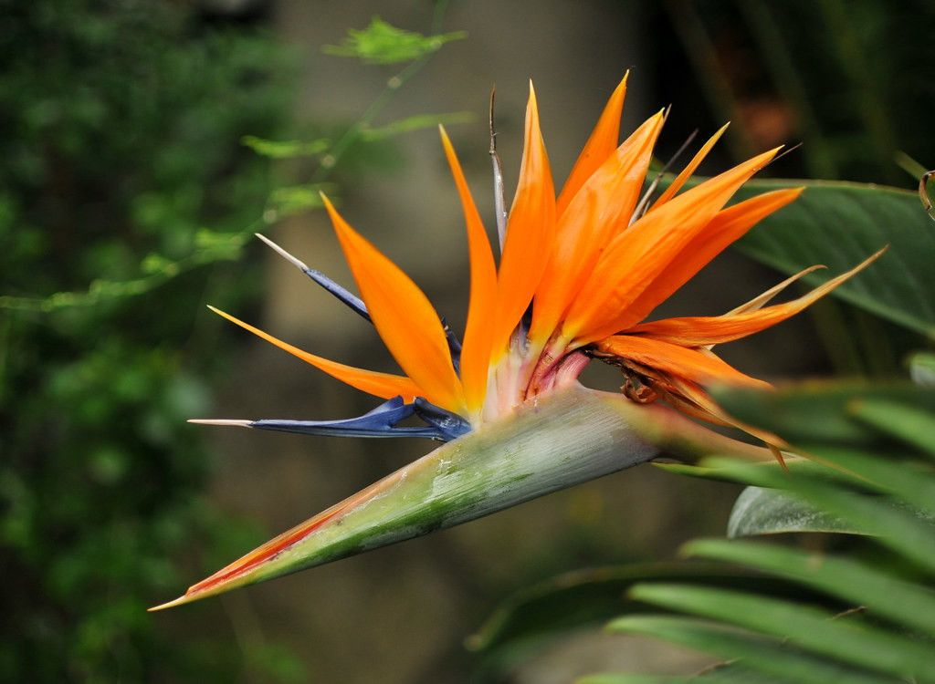 10 Features Of Bird Of Paradise Flower Taxonomy That Make Everyone Love It Bird Of Paradise In 2020 Birds Of Paradise Flower Birds Of Paradise Flowers