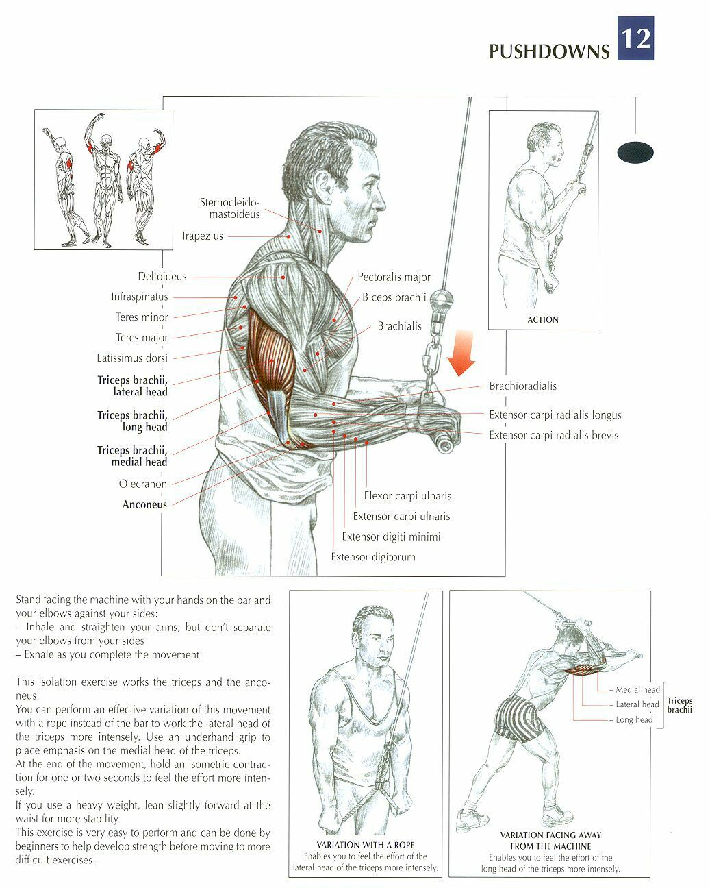 Triceps Brachii Diagram Narva Relay Wiring Cable Push Downs Anatomy And Physiology Of