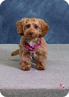 Germanton Nc Dachshund Poodle Miniature Mix Meet Rylee A