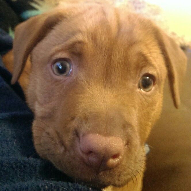 My Red Nose Pit Lab Mix Love His Green Eyes Red Nose Pit Dogs