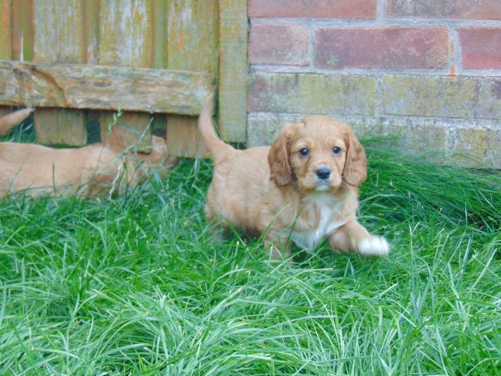 Beautiful Chunky Cockalier Puppies For Sale Coats Are Already Very Thick And Curling Mum Is A Choc Dog Heaven Puppies Spaniel Puppies