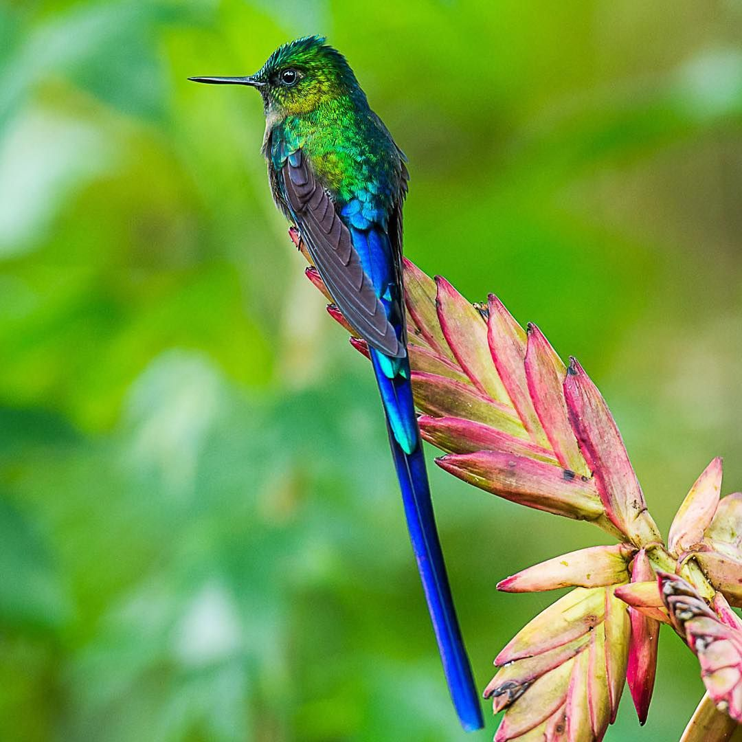"""This photo of a jeweltoned Longtailed Sylph was one of"