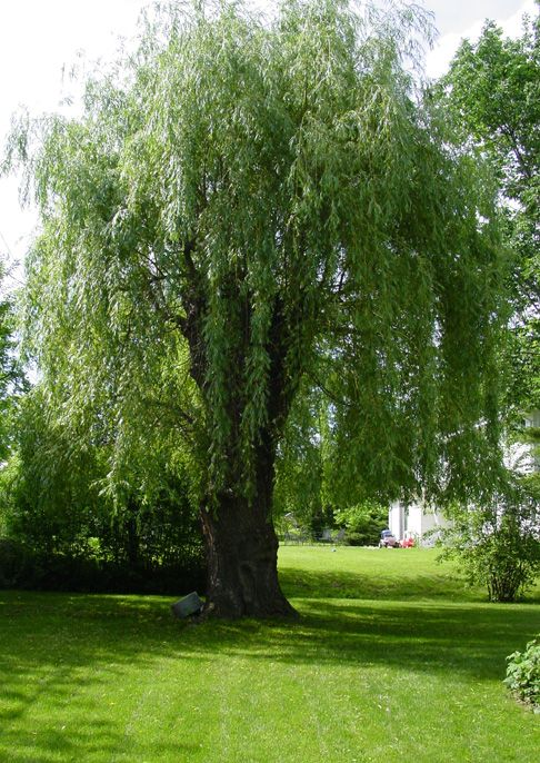How To Train A Weeping Pussy Willow To Grow Taller