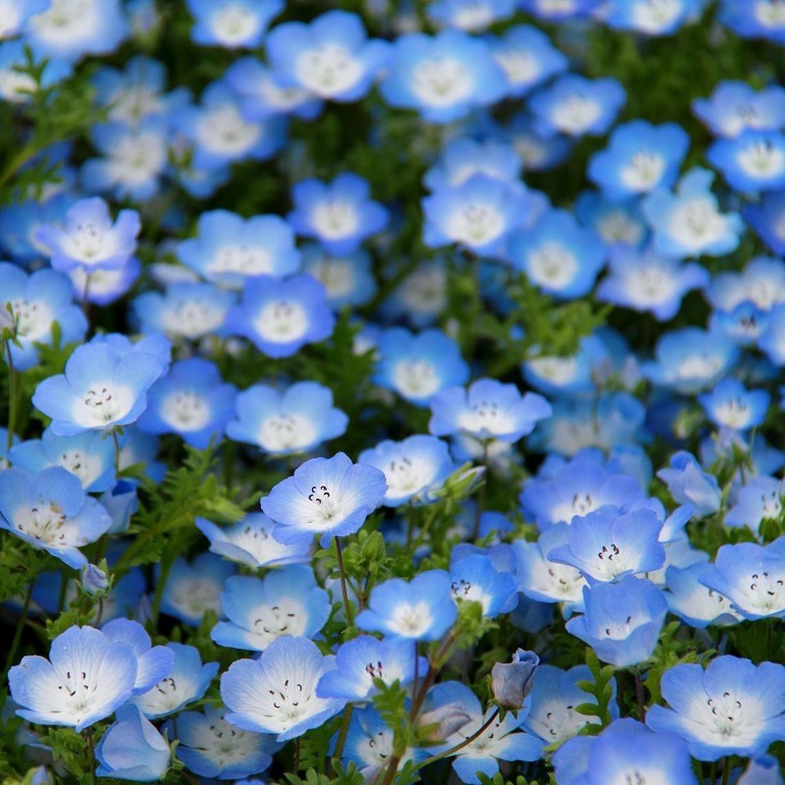 Baby blue eyes seeds blue flowers garden flower seeds