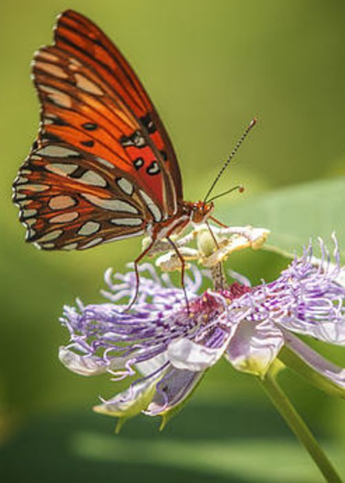 Butterfly Passion