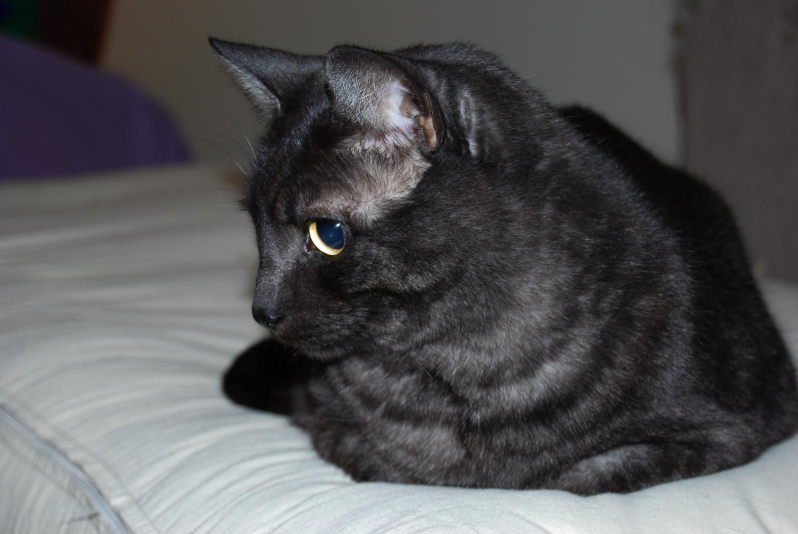 Dilutions And Modifiers Of Coat Color In Cats Color Genetics Asian Cat Black Smoke Cat Most Beautiful Cat Breeds