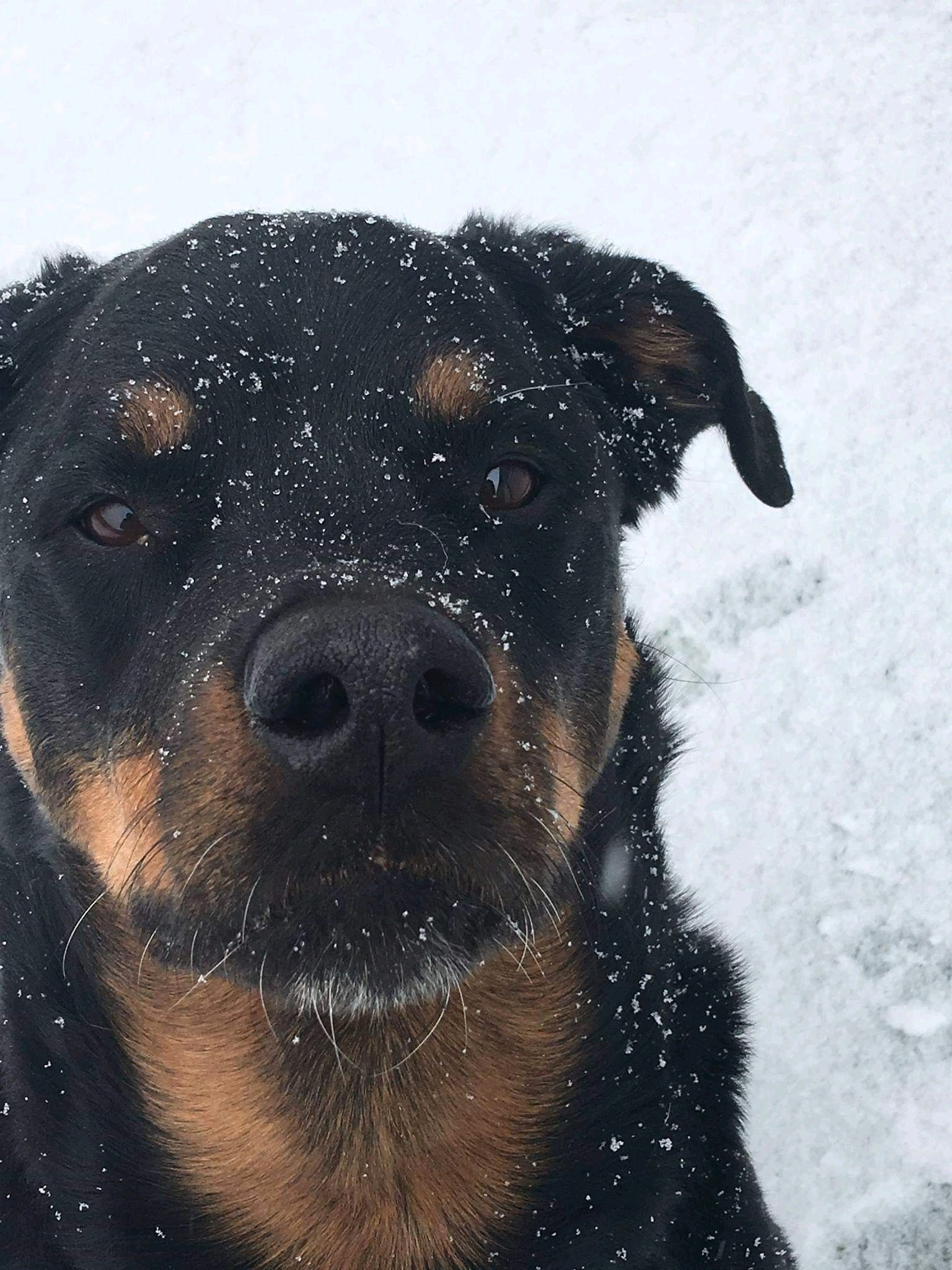Another moody snow rottie rottweiler dog rottie rottweiler