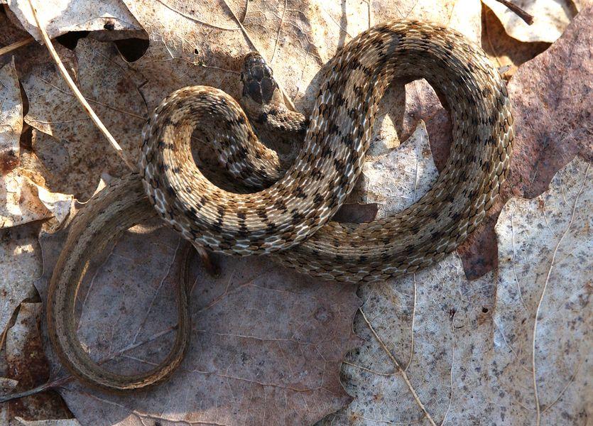 Storeria Dekayi Brown Snake Snake Brown The Great White