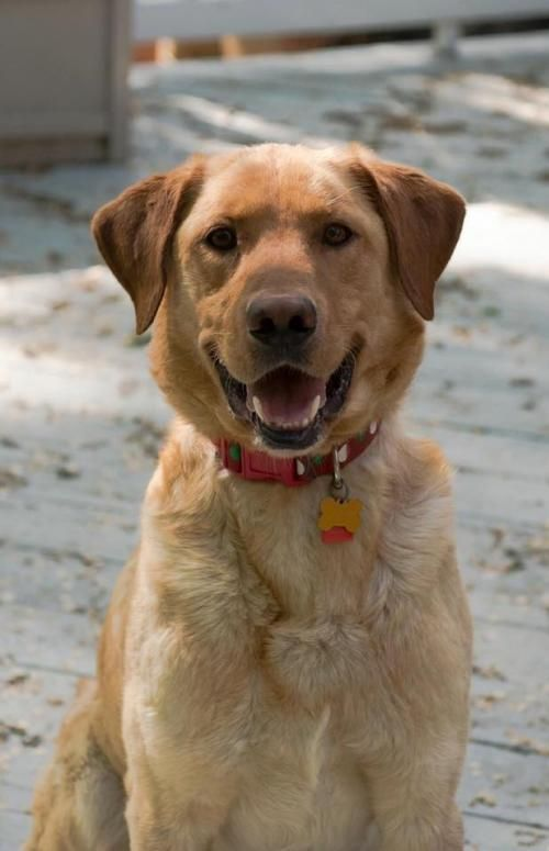 Meet Joey A Petfinder Adoptable Golden Retriever Dog Maple