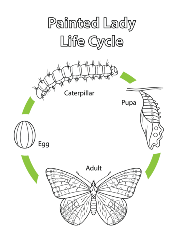 Life Cycle Of A Painted Lady Butterfly Coloring Page From