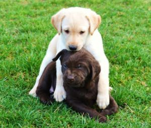 Yellow Chocolate Lab Pups Chilliwack Dogs Puppies For Sale