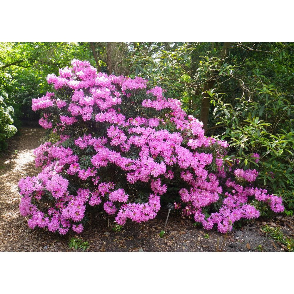 Online Orchards English Roseum Rhododendron Shrub Elegant Rose