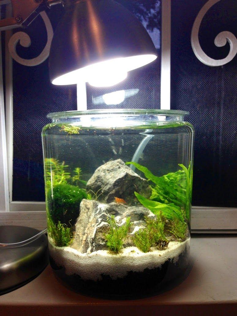 Low tech gallon shrimp jar the planted tank forum peces y