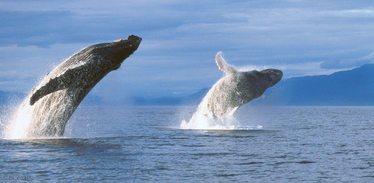 Mit kräftigen Schwanzschlägen haben die Buckelwale ihre bis zu 16 Meter langen Körper fast gleichzeitig aus dem Wasser katapultiert. Manche Tiere springen sogar mehrfach hintereinander hoch und drehen sich dabei um die eigene Achse – weshalb ist nicht bekannt. – Diese Karte hier online kaufen: http://bkurl.de/pkshop-211057 Art.-Nr.: 211057 Springende Wale | Foto: © François Gohier | Text: Rolf Bökemeier
