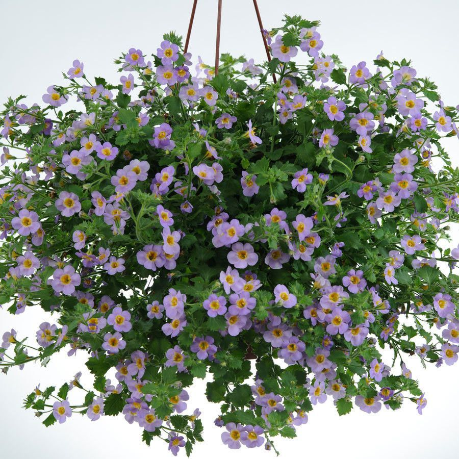 Bacopa Bluetopia Seeds Blue Perfect For Hanging Baskets And Window