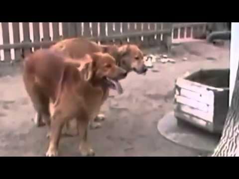Apareamiento De Perros Pegado I Apareamiento De Perros Por Primera Vez, ...