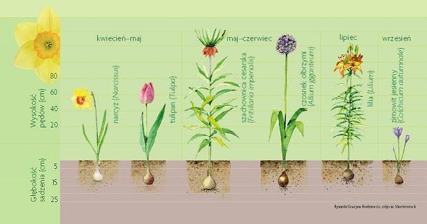 Zdjecie Numer 5 W Galerii Jesienia Sadzimy Rosliny Cebulowe Jak Sadzic Cebulki Garden Map