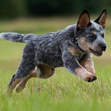 Love Australian Cattle Dog On Instagram If You Want To Buy Fantastic Australian Cattle T Shirts And Hoodies Aussie Cattle Dog Cattle Dog