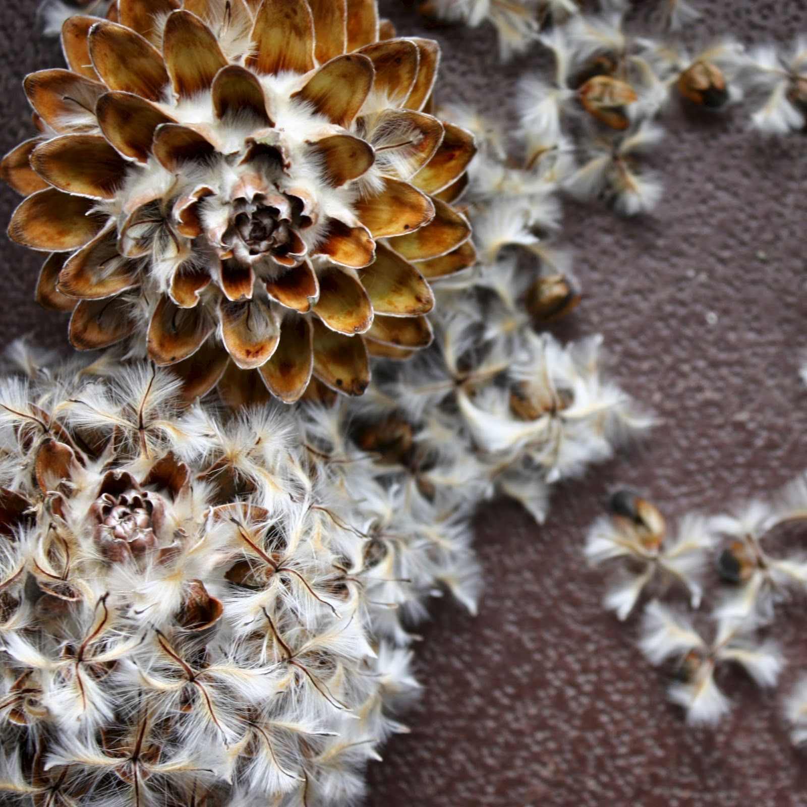 Saving Seeds Leucadendron Argenteum Illustrazione