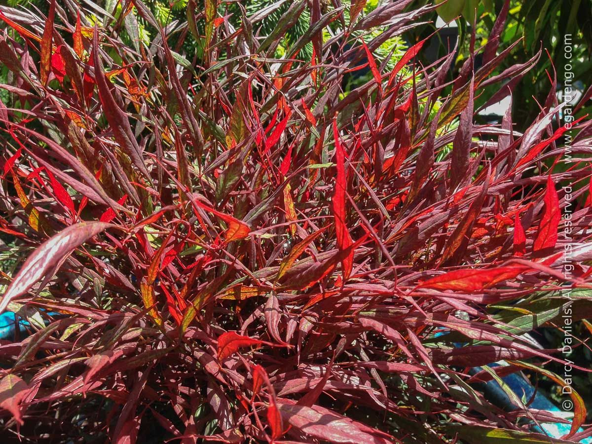 Plant Combo With Foliage Focus For Woodland Garden In 2020 Burgundy Wine Plants Foliage