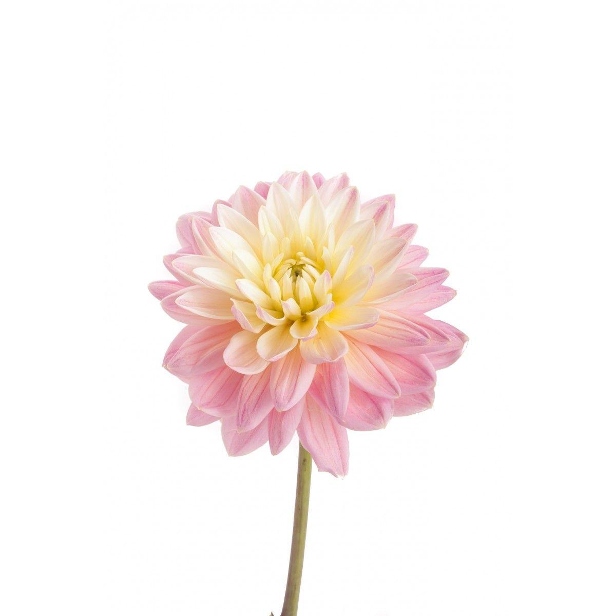 Cream and light pink dahlia flowers 2017 flower varieties eda cream and light pink dahlia flowers izmirmasajfo