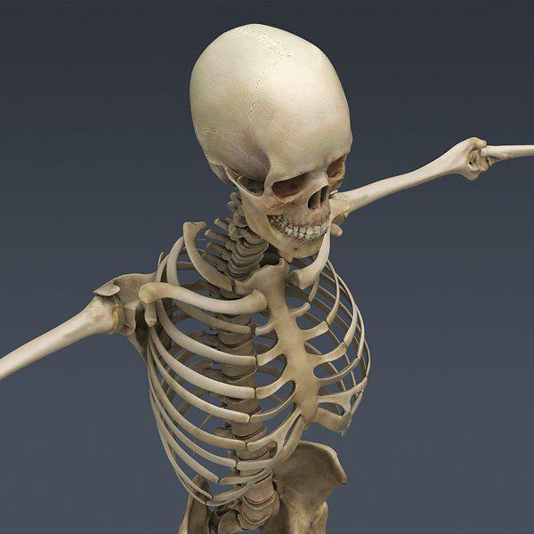 Human Skeleton Cinema 4D Rigged royalty-free 3d model