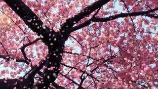 Youtube Inuyasha Lullaby Blossom Trees Cherry Blossom Tree Cherry Blossom