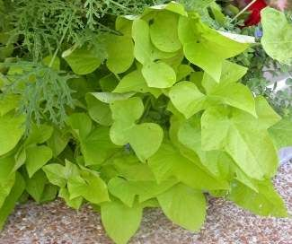 House Plants Vines sweet potato vine | flower garden's and water features | pinterest