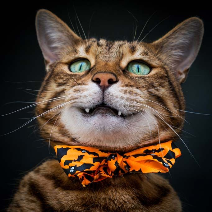 How Much Does A Bengal Cat Cost? What You Need To Know